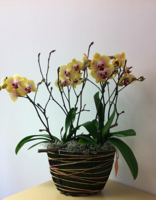 Orchidee jaunes